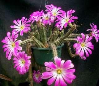 HARDY ECHINOCEREUS PENTALOPHUS CACTUS SUCCULENT PLANT
