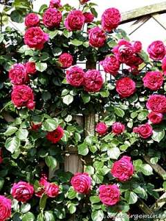 Red Eden Climber Rose Meidrason OWN ROOT PLANT
