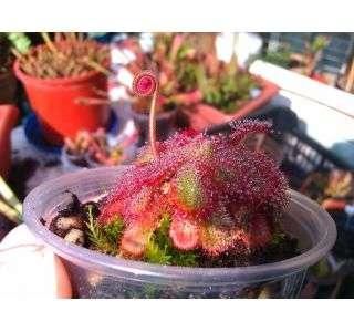 Vendo Semillas y Plantas carnivoras ASEQUIBLES (12040491)