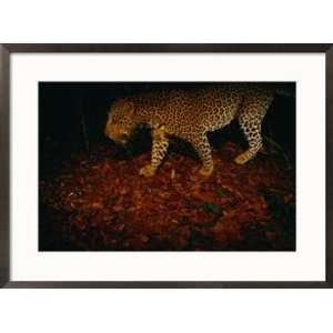 Camera trap shot of a passing leopard (Panthera pardus) Animals